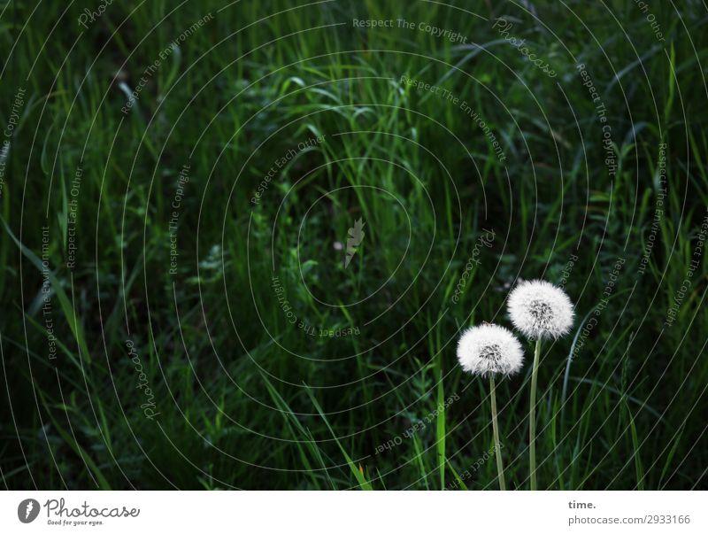 OO Environment Nature Landscape Plant Grass Wild plant Dandelion Meadow Growth Dark Green White Self-confident Friendship Together Love Infatuation Romance