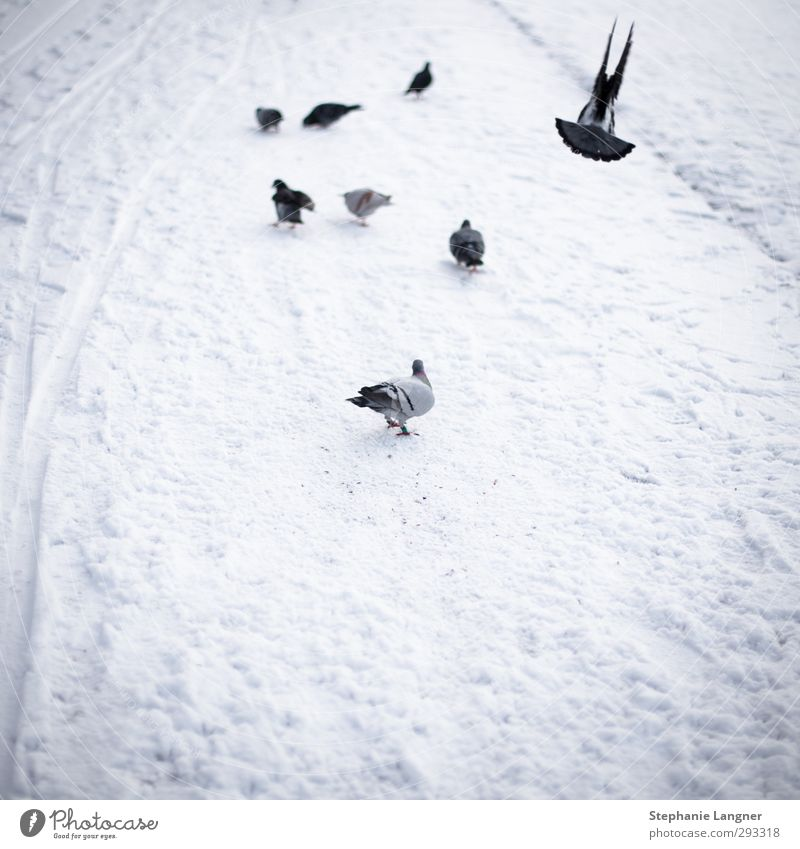 departure Environment Winter Snow Park Deserted Animal Pigeon Wing Flock Flying Freeze White Contentment Calm photocase Subdued colour Exterior shot