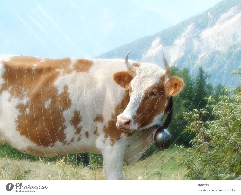 White Meadow Mountain Brown Transport Alps Pelt Cow Pasture Antlers Bell Moo Dairy cow Cow bell