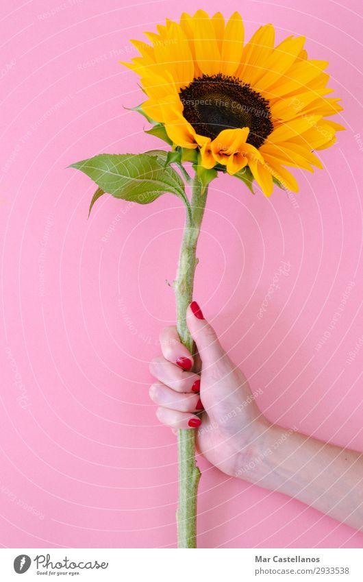 Sunflower flower in woman hand on pink background. Joy Decoration Feasts & Celebrations Valentine's Day Mother's Day Birthday Gardening Feminine Woman Adults