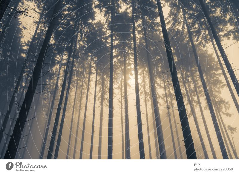 plane fog Autumn Winter Bad weather Fog Tree Spruce forest Fir tree Coniferous forest Tree trunk Branch Forest Brown Yellow Nature Environment Worm's-eye view