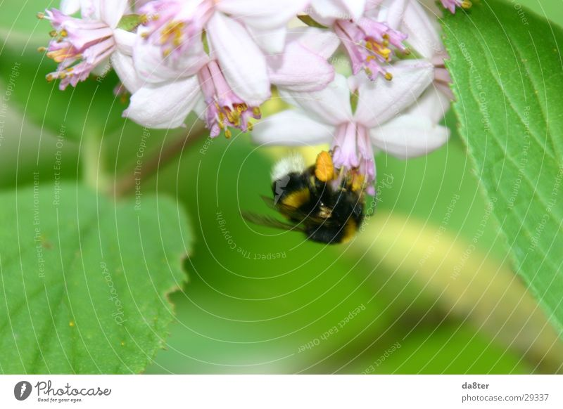 bumblebee Blossom Bumble bee Plant Green Violet Nature