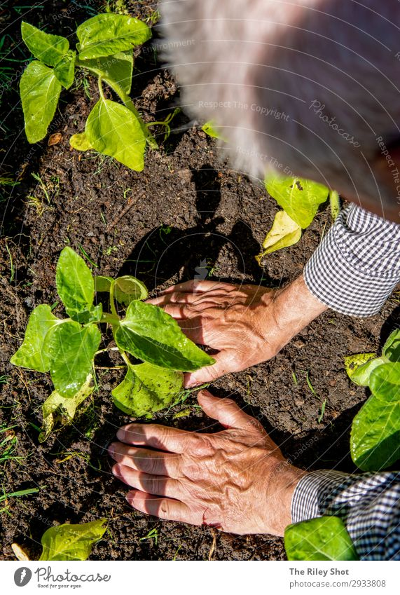 A retired man plants sunflowers in his flower bed in Spring Relaxation Leisure and hobbies Summer Garden Work and employment Gardening Retirement Tool Man
