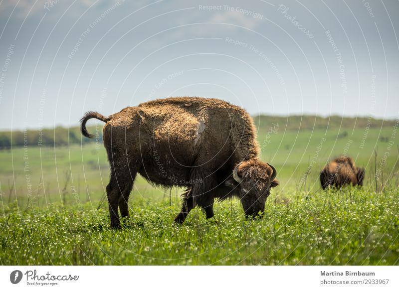 American bison American Oklahoma USA Summer Nature Jump Yellow Nationalities and ethnicity animal artiodactyla Bison blm bovidae brown buffalo district
