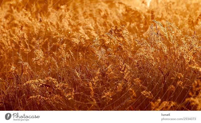 Grasses at sunrise Calm Environment Nature Landscape Autumn Weather Meadow Field Yellow Red Moody Romance Idyll Atmosphere Remote Brandenburg Germany Day golden