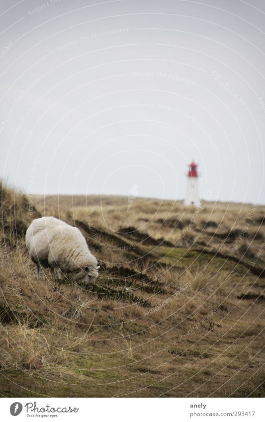 Winter on Sylt Nature Landscape Meadow North Sea Island Farm animal Sheep 1 Animal Lighthouse Contentment Loneliness Relaxation Serene Idyll Calm To feed