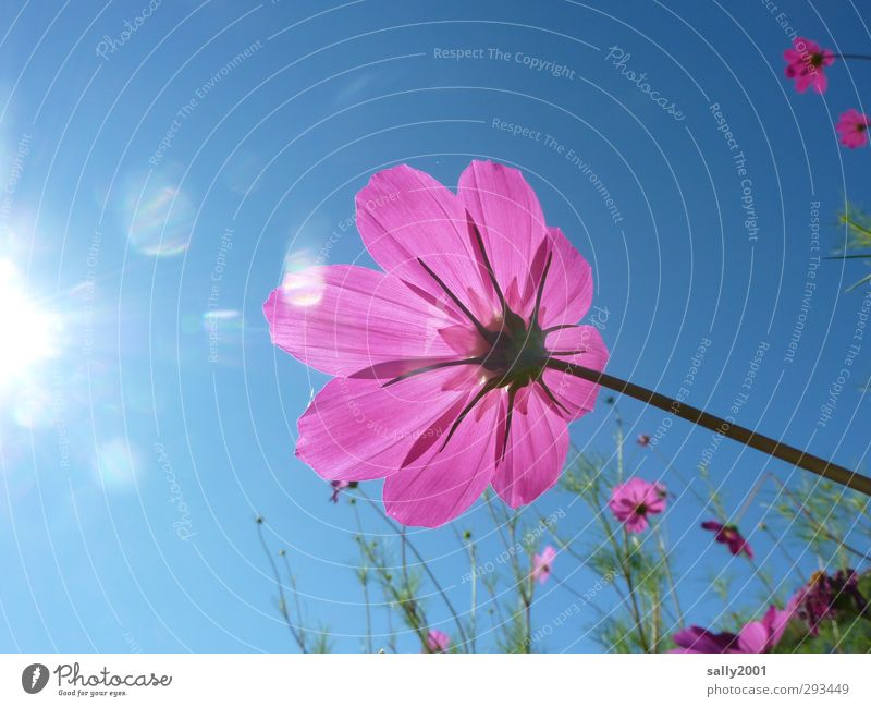 SUMMER!!!!!!!!!!! Nature Plant Sky Cloudless sky Sun Sunlight Summer Beautiful weather Flower Blossom Cosmos Park Meadow Touch Blossoming Illuminate Esthetic
