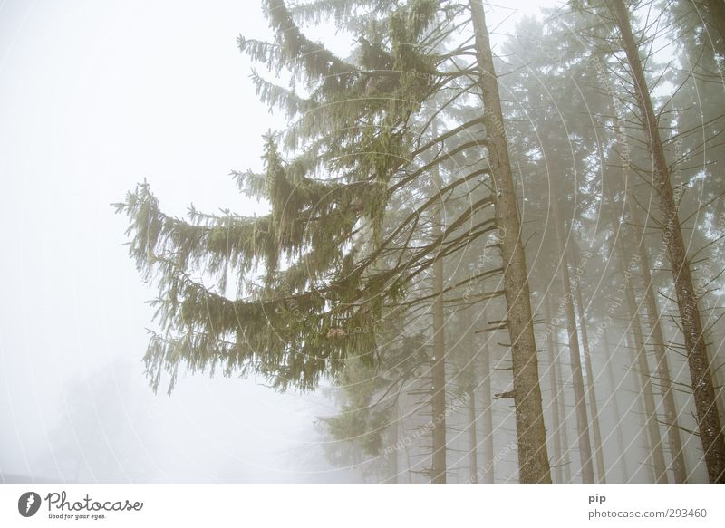 mullet Autumn Winter Fog Tree Fir tree Spruce Spruce forest Coniferous forest Twigs and branches Tree trunk Forest Environment Half One-sidedness Dreary
