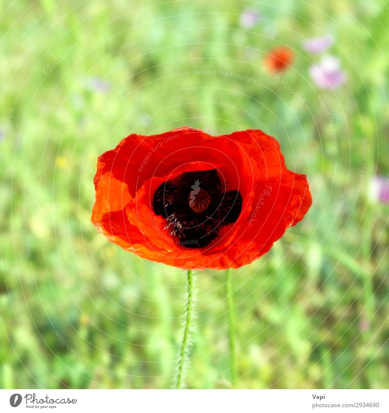 Beautiful red poppy Nature Summer Plant Colour Green Landscape Red Flower Leaf Life Yellow Environment Blossom Spring Natural