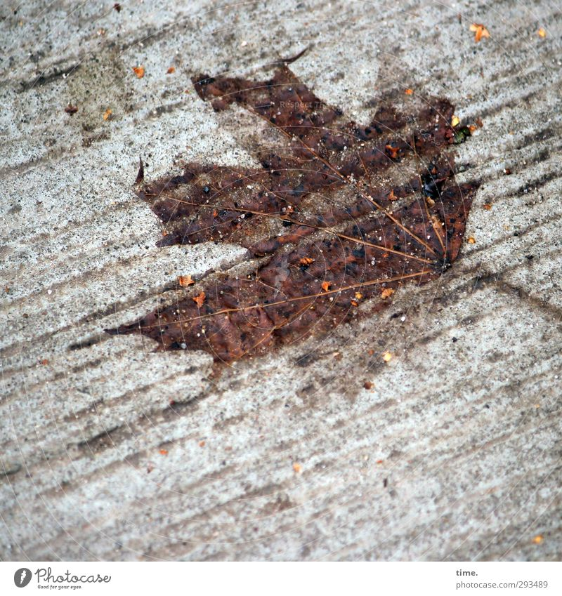 Footnote of Nature Environment Leaf Maple leaf Maple tree Traffic infrastructure Street Lanes & trails Concrete Concrete slab Lie Wet Grief Fatigue Exhaustion