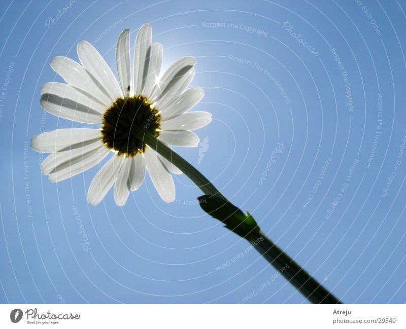 Sky Sun Flower Plant Summer Spring