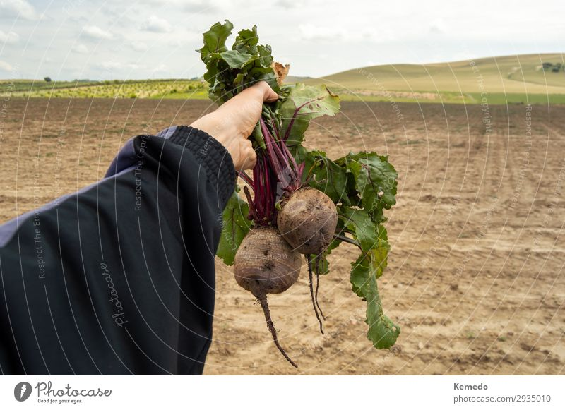 Farmer holds a bunch of organic beetroot freshly picked. Food Vegetable Nutrition Eating Organic produce Vegetarian diet Diet Lifestyle Beautiful Healthy
