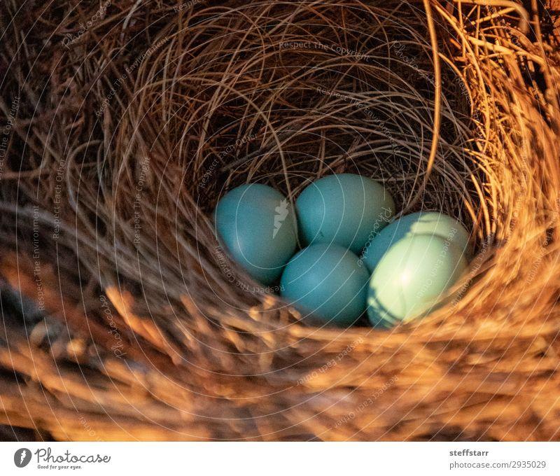Blue eggs of an Eastern bluebird Nature Animal Bird Baby animal Brown Egg blue bird Throstle Sialia sialis Nest-building spring Florida Marco Island wildlife