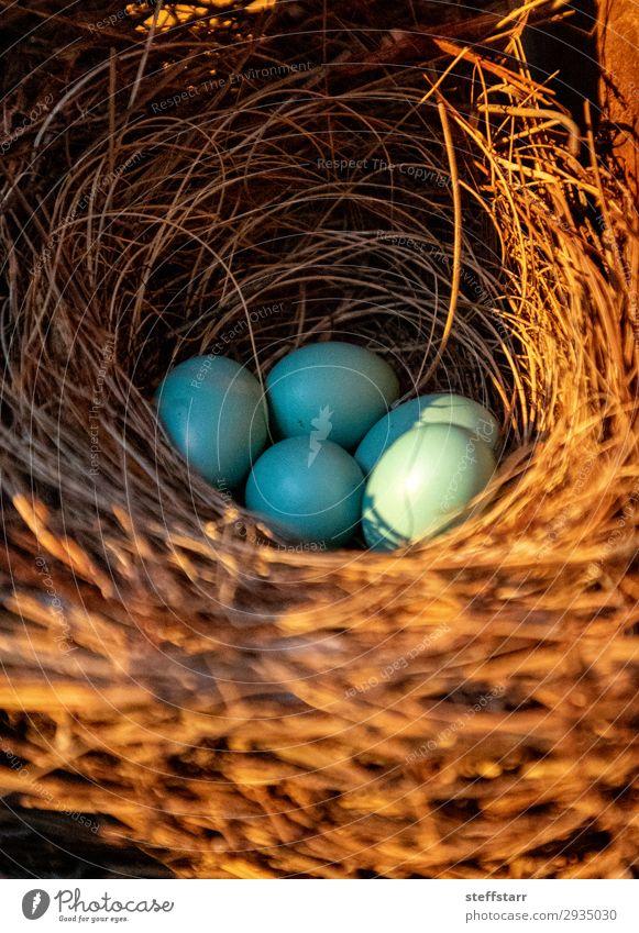 Blue eggs of an Eastern bluebird Nature Animal Wild animal Bird Flock Baby animal Brown Egg blue bird Throstle Sialia sialis Nest-building spring Florida