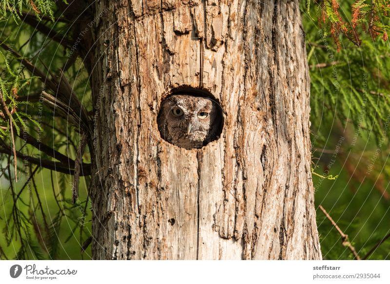 Perched inside a pine tree, an Eastern screech owl Nature Tree Animal Wild animal Bird Animal face 1 Brown Owl Megascops asio raptor Bird of prey nocturnal Nest