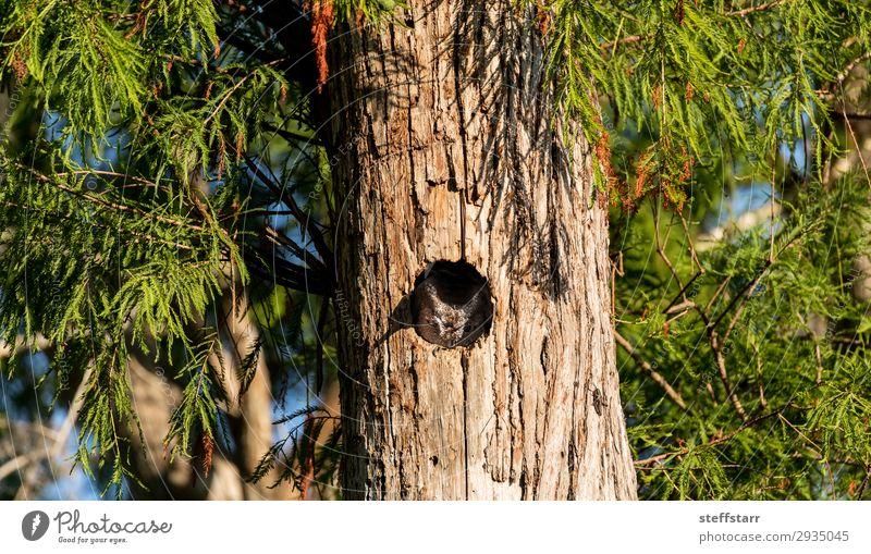 Perched inside a pine tree, an Eastern screech owl Nature Tree Animal Bird 1 Sleep Brown Owl Megascops asio raptor Bird of prey nocturnal Nest Nest-building