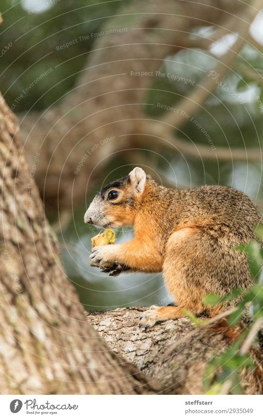 Southern fox squirrel Sciurus niger Eating Nature Animal Tree Wild animal 1 Sit Funny Cute Brown Squirrel wildlife Perches fuzzy alert watchful eye contact
