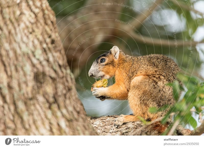 Southern fox squirrel Sciurus niger Eating Nature Animal Tree Wild animal Animal face 1 Sit Funny Cute Brown Squirrel wildlife Perches fuzzy alert watchful