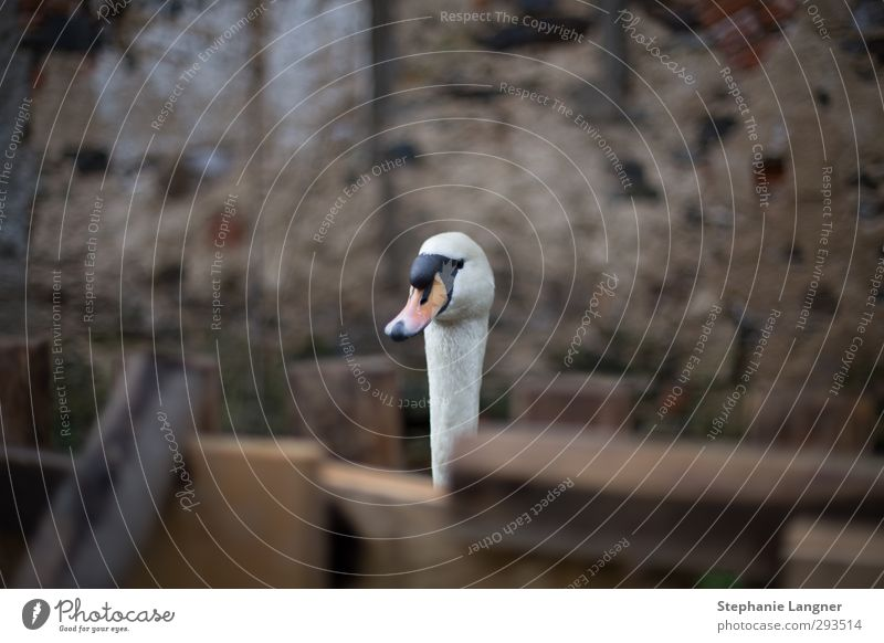 Who's that? Garden Nature Wall (barrier) Wall (building) Animal Swan 1 Looking Elegant Curiosity Cute Serene Calm Colour photo Exterior shot Deserted
