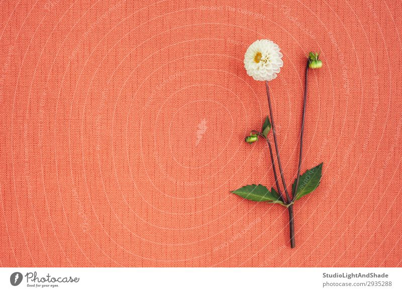 White dahlia on peach colored canvas with copy space Elegant Beautiful Summer Garden Gardening Nature Plant Flower Leaf Blossom Cloth Blossoming Simple Bright