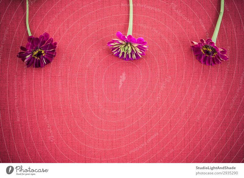 Three zinnias on deep red canvas with copy space Elegant Design Beautiful Summer Garden Gardening Feminine Nature Plant Flower Blossom Cloth Blossoming Dark