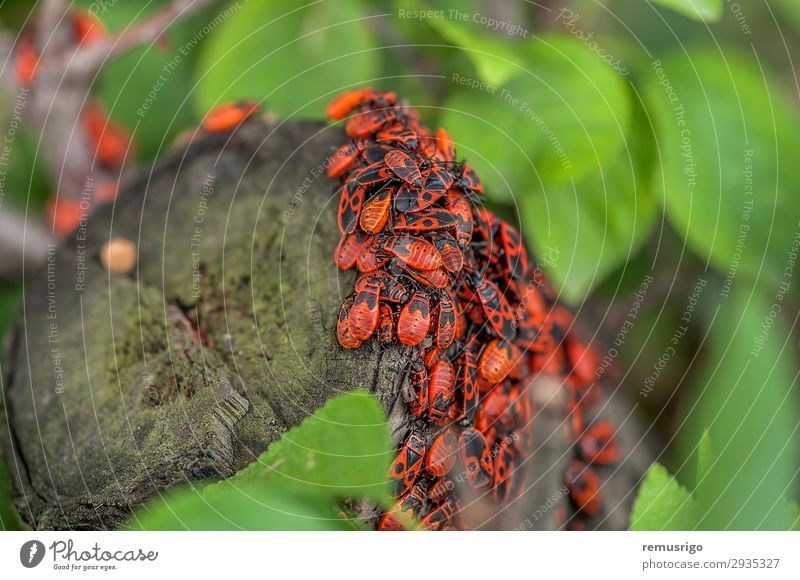 A group of firebugs Nature Leaf Antenna Hang Sit arthropod background Biology Firebug Living thing Bug Insect Log spring Colour photo Exterior shot Close-up
