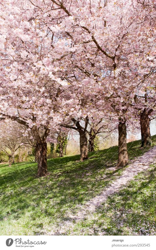Coming Soon Nature Landscape Plant Spring Beautiful weather Grass Blossom Cherry blossom Cherry tree Park Hill Lanes & trails Fresh Bright Natural Pink Peace