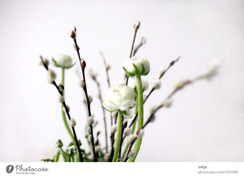 Spring: Trend confident! Nature Flower Blossom Catkin Bouquet Buttercup Blossoming Thin Beautiful Small Long Soft Brown Green White Growth Bright background
