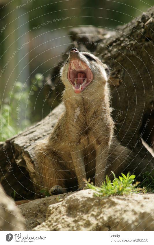 meerkats Meerkat Pelt Animal Mammal suricates sciurinae Set of teeth Yawn Vertical Sit Animal portrait