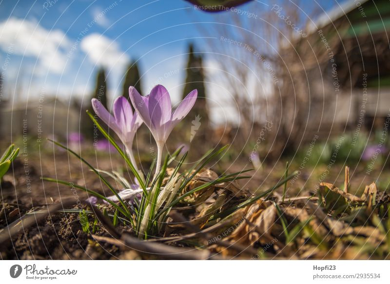 Purple crocus in the garden Environment Nature Plant Sky Clouds Sun Spring Beautiful weather Flower Blossom Foliage plant Garden Blue Brown Yellow Violet White