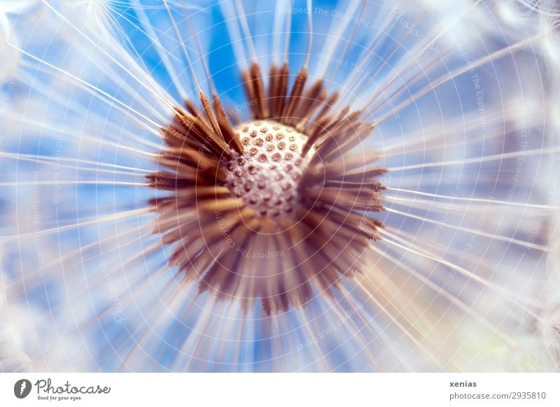 dandelion Nature Plant Blossom Dandelion Seed Garden Meadow Round Soft Blue Brown White Ease Easy spherical open aperture Colour photo Studio shot Detail