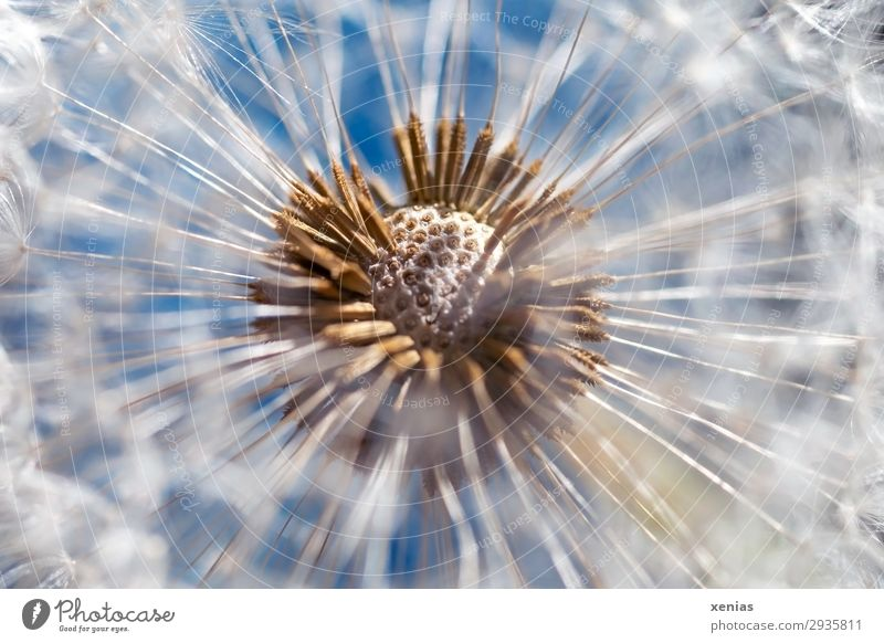 Dandelion in direct sunlight Spring Summer Plant Blossom Seed Garden Meadow Round Soft Blue Brown White Ease Colour photo Interior shot Detail