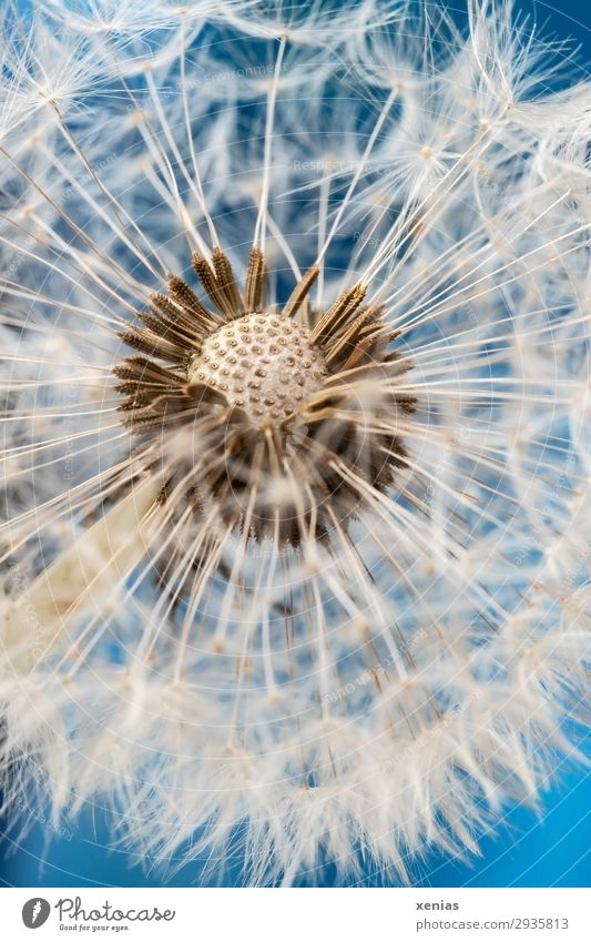 Dandelion in detail Nature Plant Sky Spring Summer dandelion Sámen dandelion seed Garden Meadow Soft Blue White Faded Easy Ease Studio shot Detail