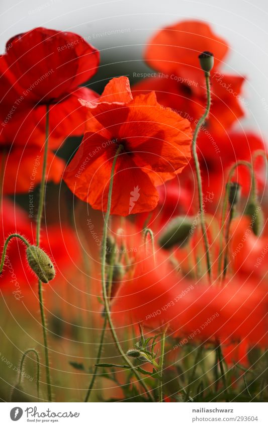 poppy Nature Plant Summer Flower Bushes Blossom Foliage plant Agricultural crop Wild plant Poppy Garden Park Meadow Field Blossoming Fragrance Faded Growth