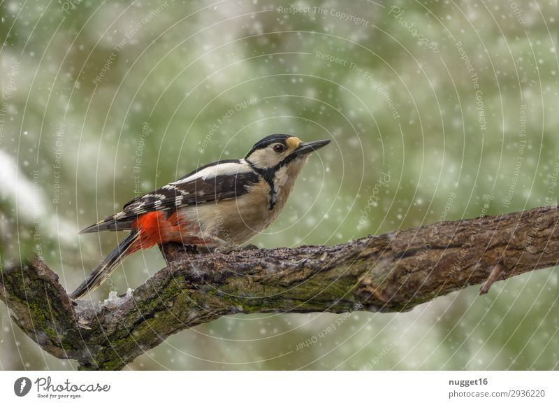 great spotted woodpecker Environment Nature Animal Spring Autumn Winter Climate Climate change Bad weather Ice Frost Snow Snowfall Tree Bushes Garden Park