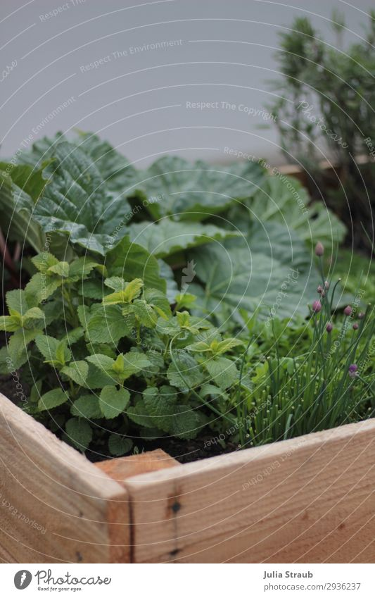 raised bed fresh green rhubarb Nature Summer Plant Agricultural crop Garden Fresh Healthy Delicious Brown Green Sustainability Lemon Balm Chives Sage Blossom