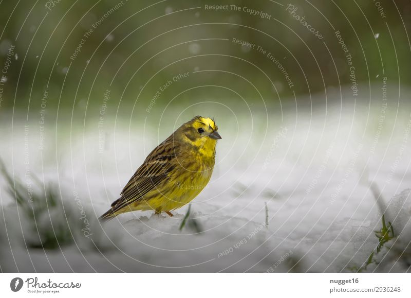 Yellowhammer in the snow Environment Nature Animal Spring Autumn Winter Climate Climate change Bad weather Ice Frost Snow Snowfall Grass Bushes Garden Park