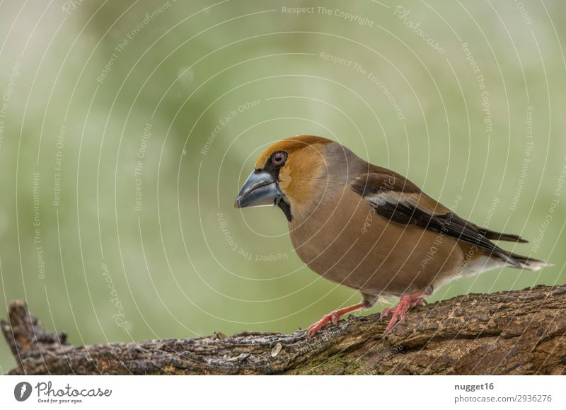 hawfinch Environment Nature Animal Spring Summer Autumn Winter Snow Snowfall Tree Bushes Garden Park Forest Wild animal Bird Animal face Wing Claw Hawfinch 1