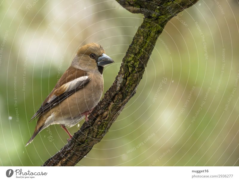 hawfinch Environment Nature Animal Spring Summer Autumn Winter Snow Snowfall Tree Garden Park Meadow Forest Wild animal Bird Animal face Wing Claw Hawfinch 1