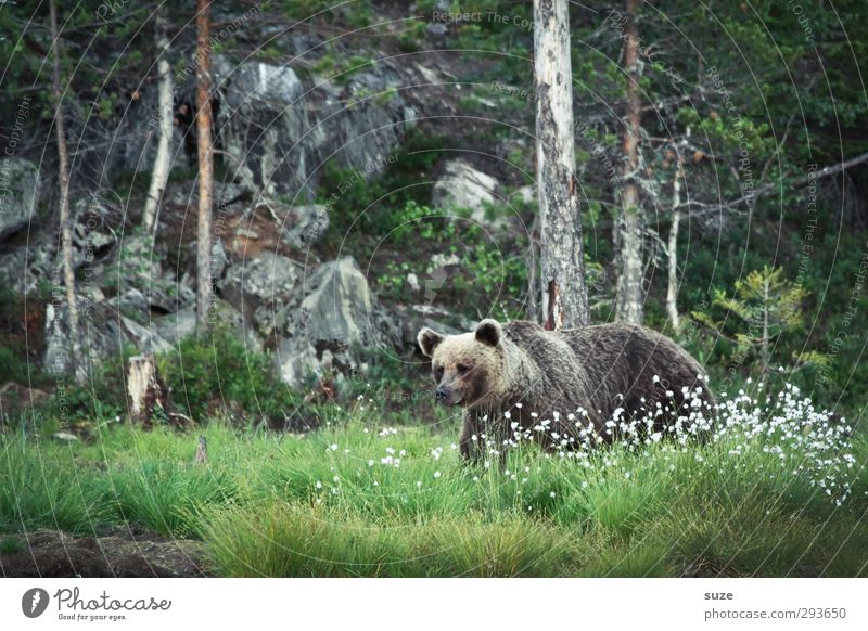 Brown bear in the green Hunting Environment Nature Landscape Animal Meadow Forest Rock Pelt Wild animal 1 Observe Threat Curiosity Strong Green Power Appetite