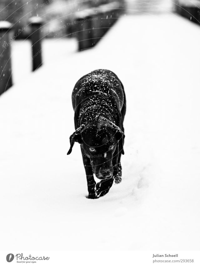 diogi Winter Wind Ice Frost Snow Snowfall Animal Pet Dog 1 Good Cute Black & white photo Exterior shot Day Light Contrast Sunlight Shallow depth of field