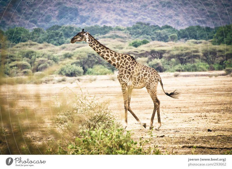 Giraffe in Africa Vacation & Travel Safari Hiking Endurance Tarangire Serengeti Ngorongoro Conservation Area Tansania Going To go for a walk Colour photo