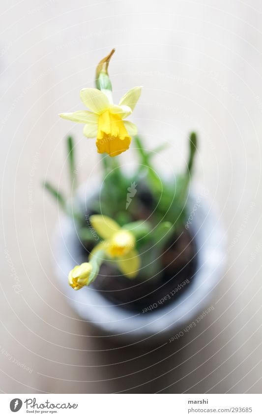 SPRING MESSENGERS Nature Plant Flower Yellow Green Spring Perspective Bird's-eye view Blossoming Wild daffodil Colour photo Interior shot Close-up Detail
