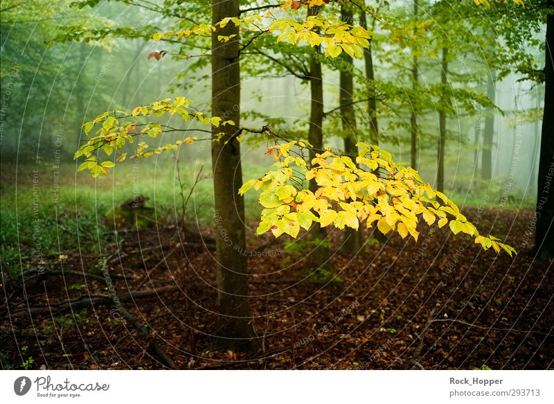 Golden Green Harmonious Relaxation Calm Environment Nature Landscape Plant Autumn Fog Tree Grass Bushes Moss Leaf Tree bark Branch Forest Hill Mountain