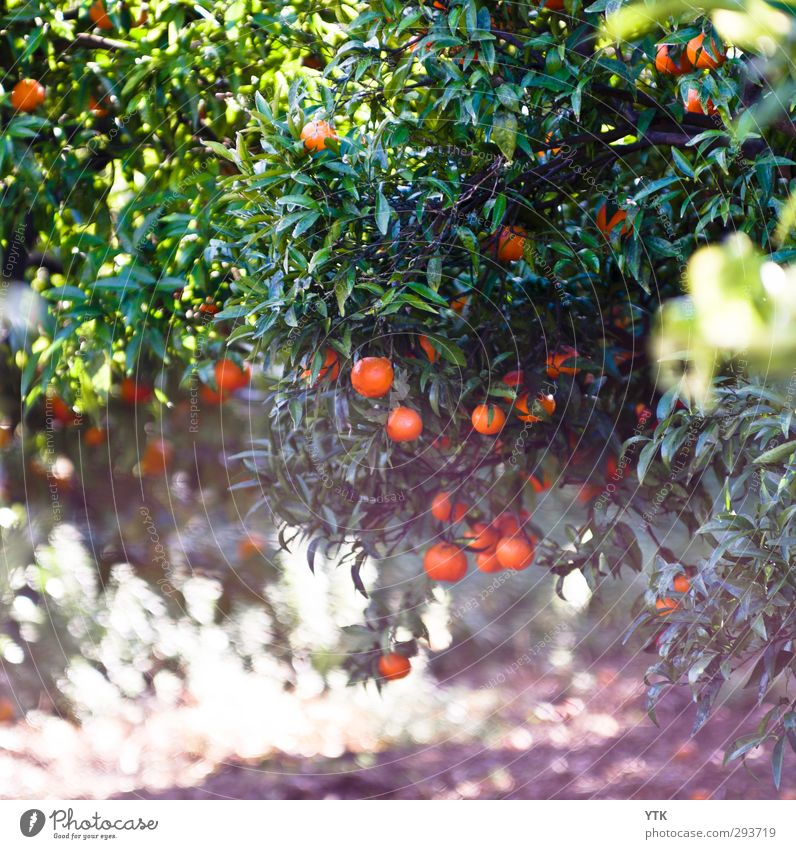 Citrus Garden II Environment Nature Plant Elements Sand Air Summer Climate Beautiful weather Tree Leaf Foliage plant Agricultural crop Meadow Esthetic Fragrance