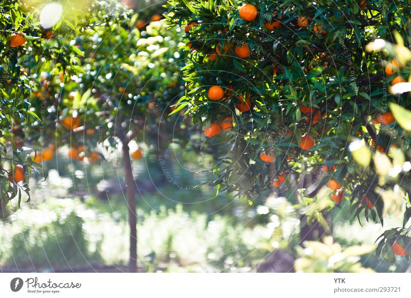 Citrus Garden III Environment Nature Plant Elements Earth Air Sun Sunlight Spring Summer Climate Beautiful weather Tree Grass Bushes Leaf Blossom Foliage plant