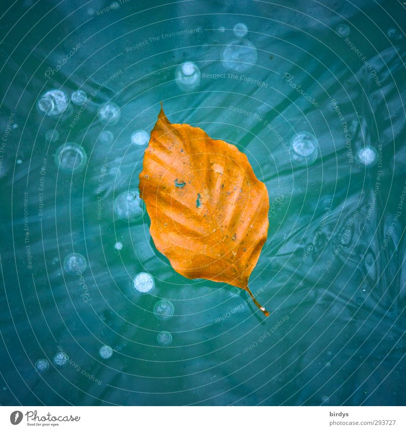 beautiful due to age Autumn Winter Beautiful weather Ice Frost Leaf Beech leaf Autumn leaves Frozen surface Old Lie Friendliness Bright Positive Blue Orange