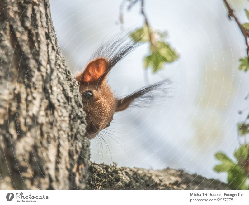 Squirrel curiously looks around the corner Nature Animal Sky Sunlight Beautiful weather Tree Wild animal Animal face Pelt Eyes Ear paintbrush ears Nose Rodent 1