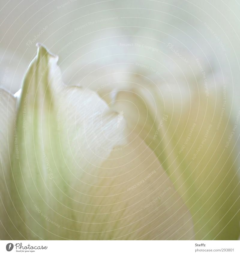 Nature White Flower Life Blossom Spring Bright Fresh Blossoming Romance Wellness Delicate Pure Fragrance Blossom leave Tulip