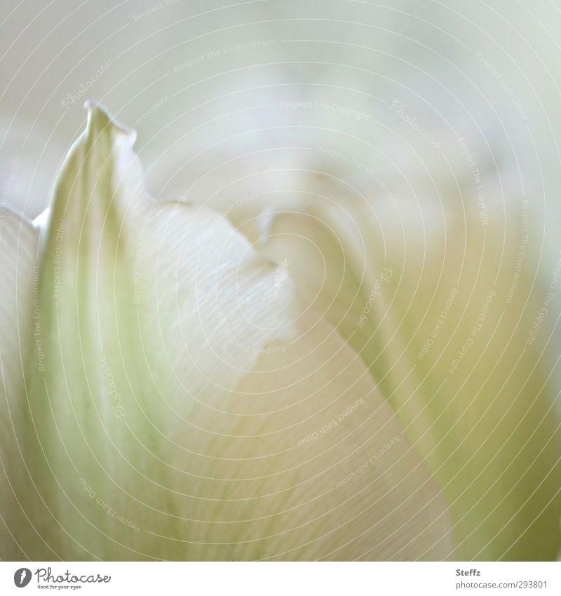 The sense of a flower Tulip Tulip blossom flowering tulip flowering flower Picturesque idyllically Spring flower Blossoming Meaning blooming spring flower